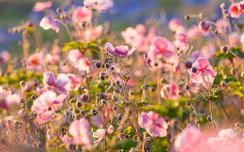 Best Garden Perennial Flowers That Blooms For Long Period
